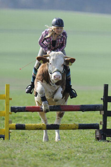 Дівчина привчила корову до верхової їзди (10 фото)