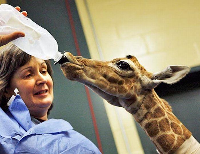 Дитинчата жирафів (40 фото)