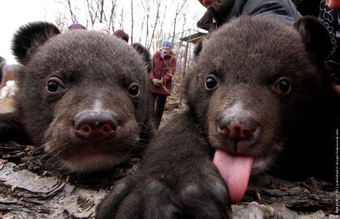 Гімалайські ведмеді (8 фото)