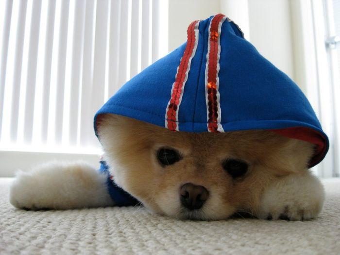 Бо. Собака, яка всім подобається (50 фото)