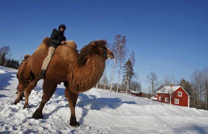 Верблюди в снігової Норвегії (12 фото)
