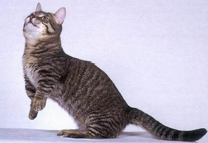 Коротколапые коти манчкіни (14 фото)