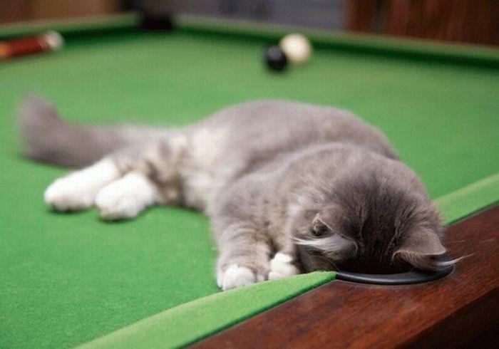 Коти-більярдісти (15 фото)