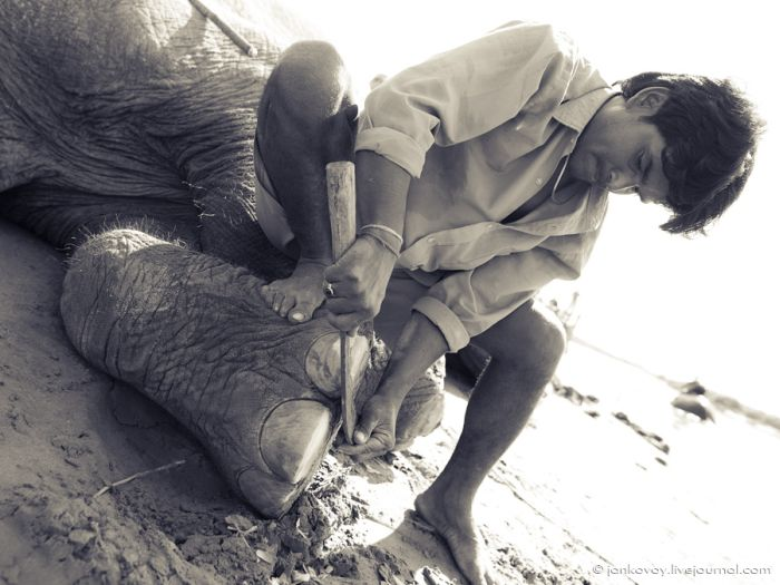 Манікюр для слона (5 фото)