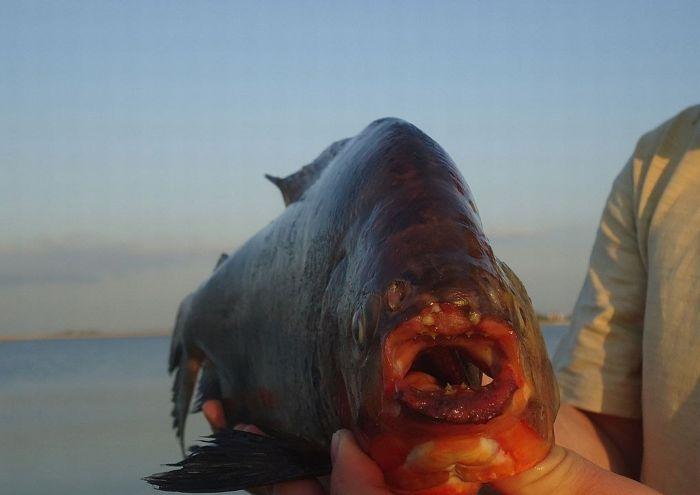 Піранья в водах Ростова-на-Дону (4 фото)