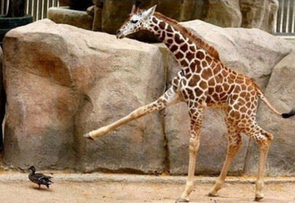 Не треба чіпати жирафів (8 фото)