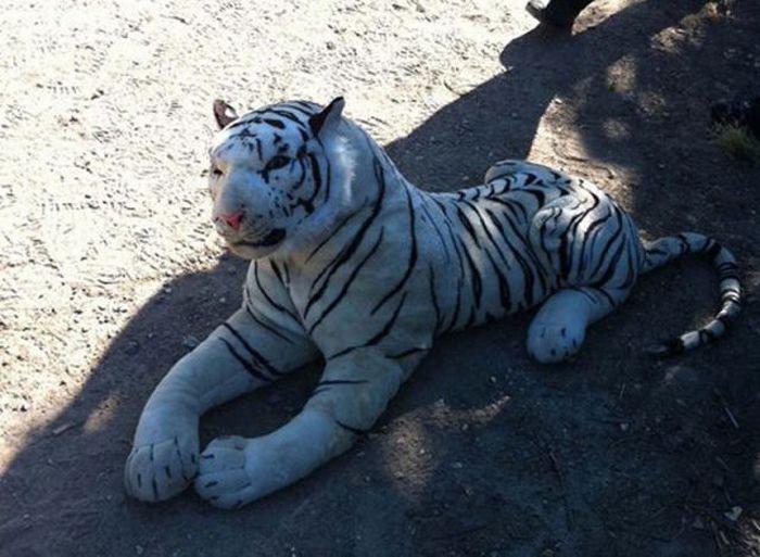 Білий тигр на полі для гри в крикет (2 фото)