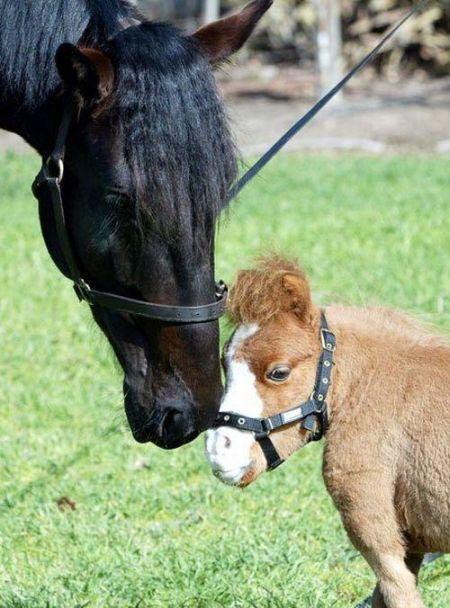 Чарівна карликова кінь Koda (10 фото)