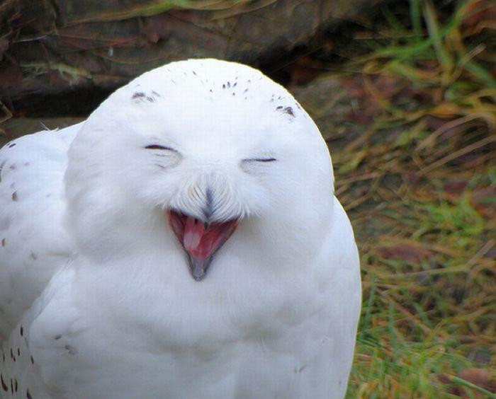 Сови сміються (35 фото)