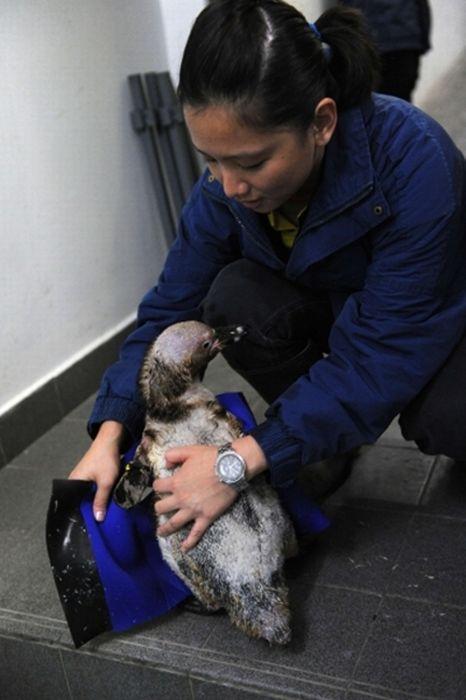 Пінгвін без піря (8 фото)