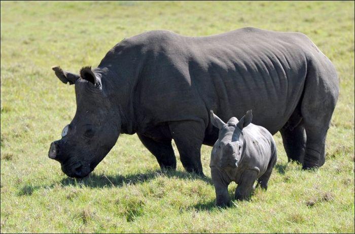 Як рятують носорогів (4 фото)