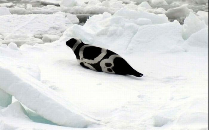 Смугасті тюлені (6 фото)