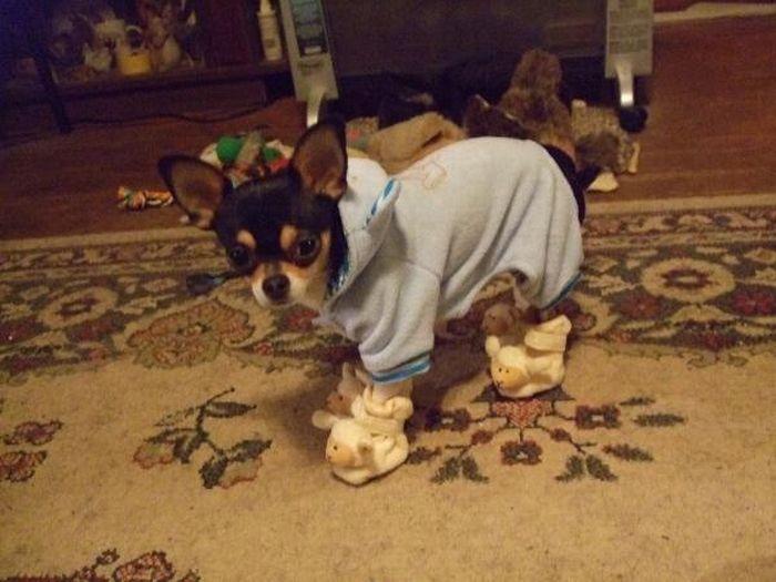 Собачки в тапочках (17 фото)