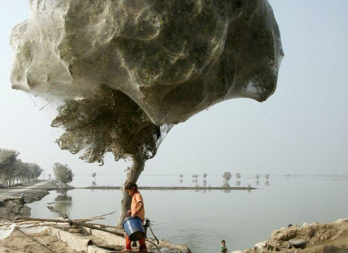 Нашестя павуків у Пакистані (8 фото)