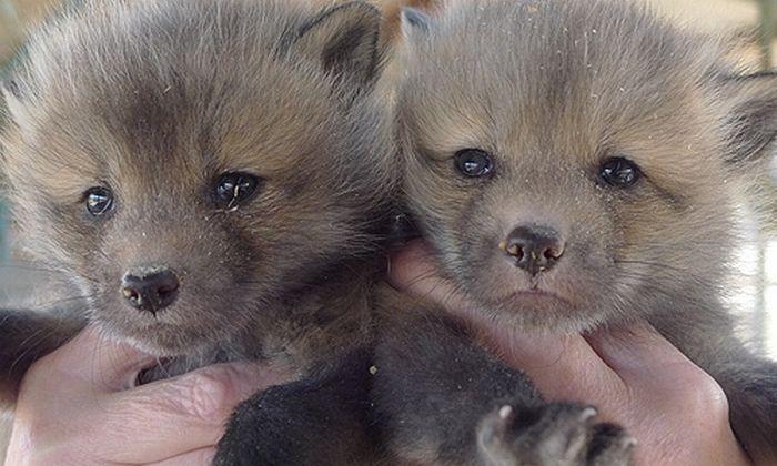Приручення диких лисиць (9 фото)