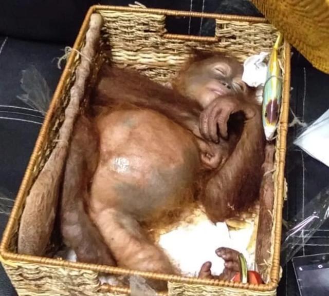 На Бали задержали гражданина РФ, который пытался провезти орангутана в багаже. МиР