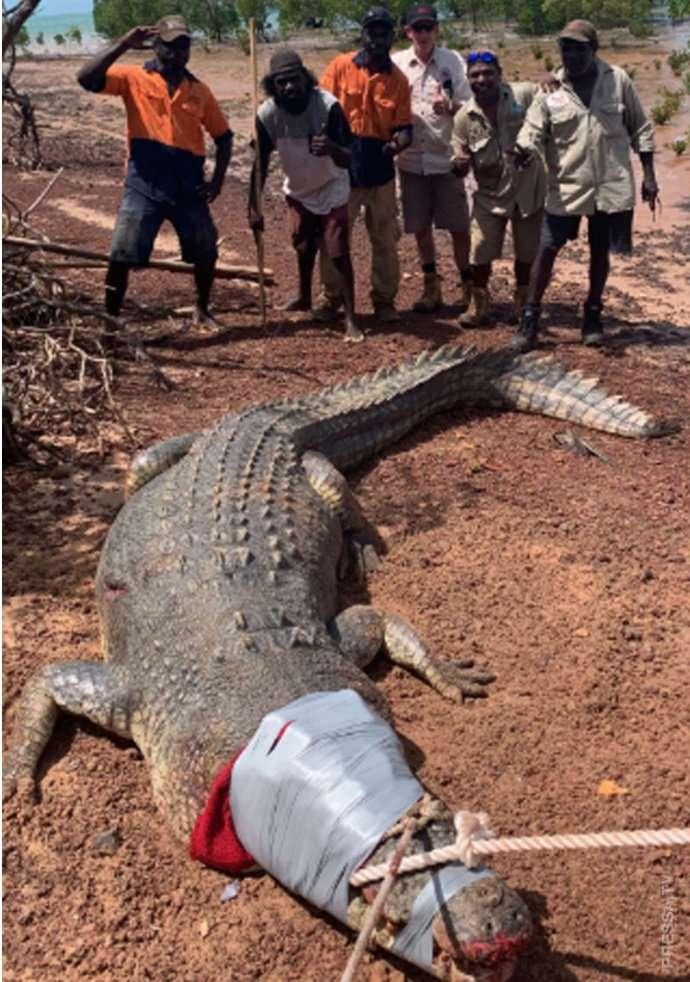 В Австралии арестовали крокодила Интересное