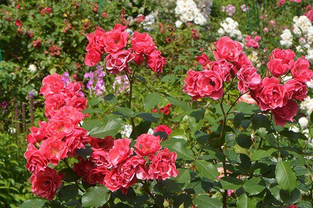 Когда и как лучше всего посадить розу? розы