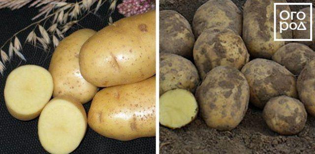 Как получить два урожая молодой картошки в средней полосе картофель